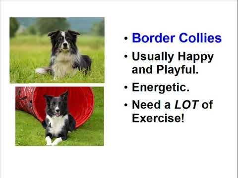 Border Collie Facts - Need Something Herded?