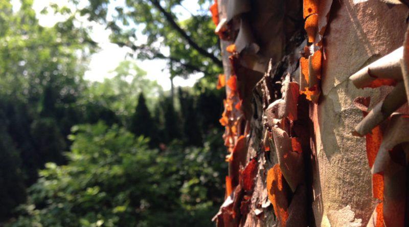 Tree Bark That Makes A Statement In Your Garden Tree Tree Bark Summer Vegetables Garden