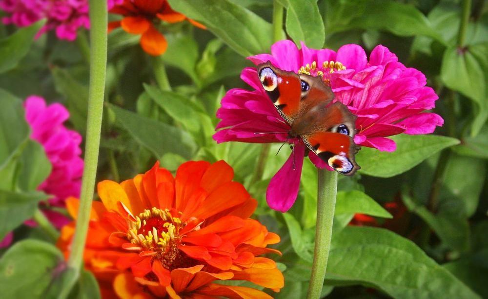 Zinnien Pflegeleichte Sommerbluher Zinnien Blumen Stauden Blumen Fur Garten
