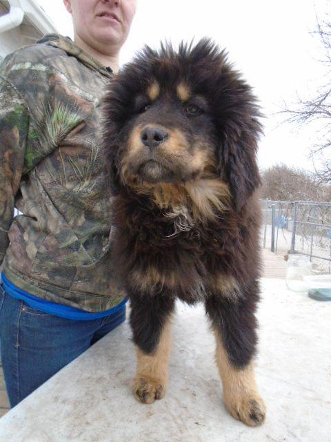 Litter Of 9 Tibetan Mastiff Puppies For Sale In Galva Il Adn 25588 On Puppyfinder Com Gender Femal Mastiff Puppies For Sale Tibetan Mastiff Puppies For Sale