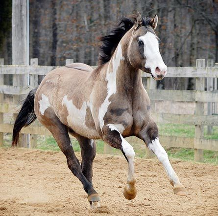 paint horses with blue eyes - Google Search   Western Horses ...