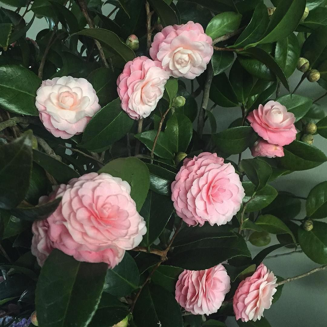 Coming up on camellia season! These beauties from @thepetalersf. #camellias