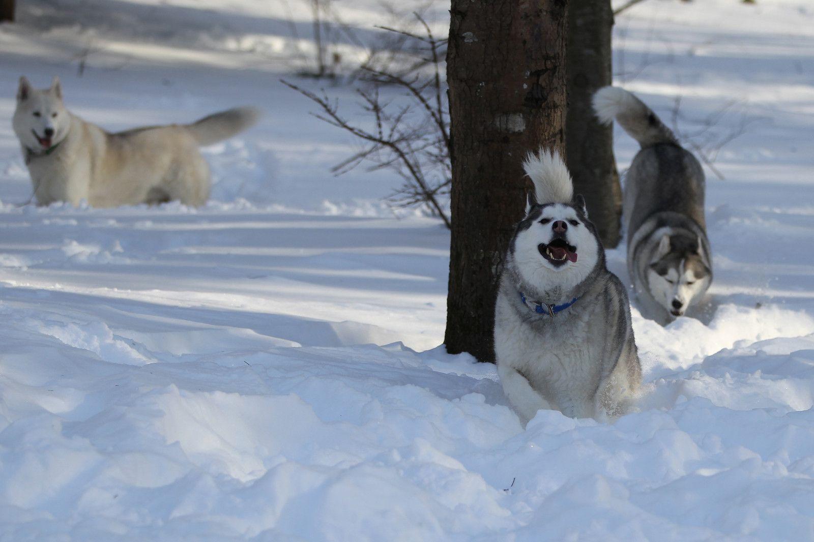 Siberian Huskies Running In Deep Snow Cute Animals Snow Dogs