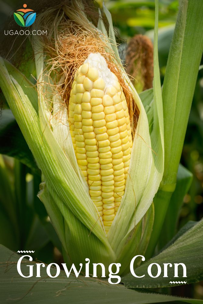 Growing Corn in your garden (With images) | Growing corn ...