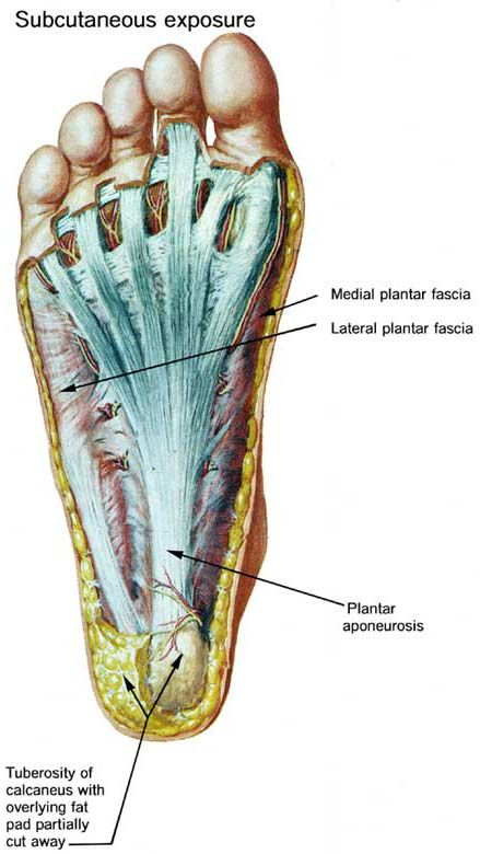 The Foot And Leg Muscletendon Connection The Human Foot