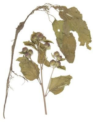 Burdock....blood purifier and cleanser. Lungs, stomach, kidney, liver. Used for skin diseases, blood purification, urinary problems, arthritis, rheumatism, sciatica, and eliminates harmful acids from the body.
