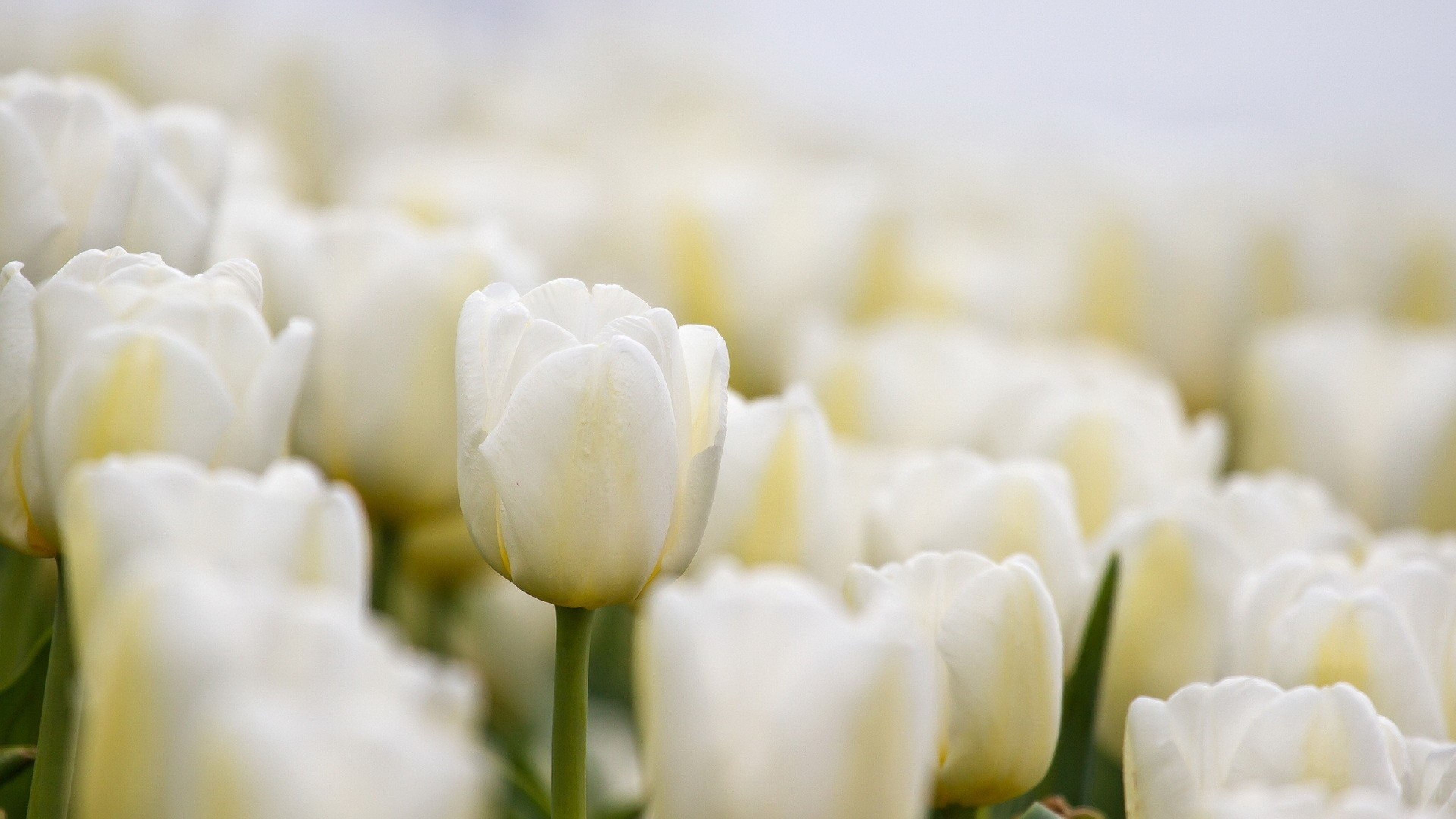 White Flowers HD Wallpapers Backgrounds of Your Choice HD