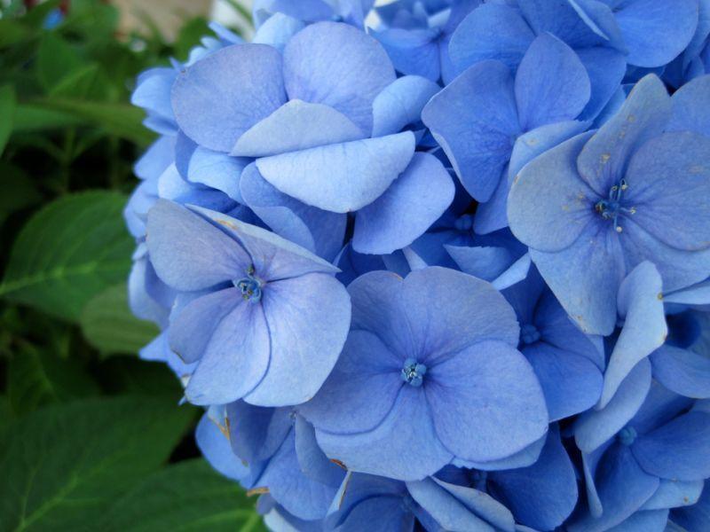 Синие цветы картинки с названиями, открытка вензелями красивые