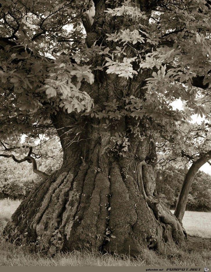 Die Altesten Baume Der Welt Baum Fotografie Alte Baume Und Baum