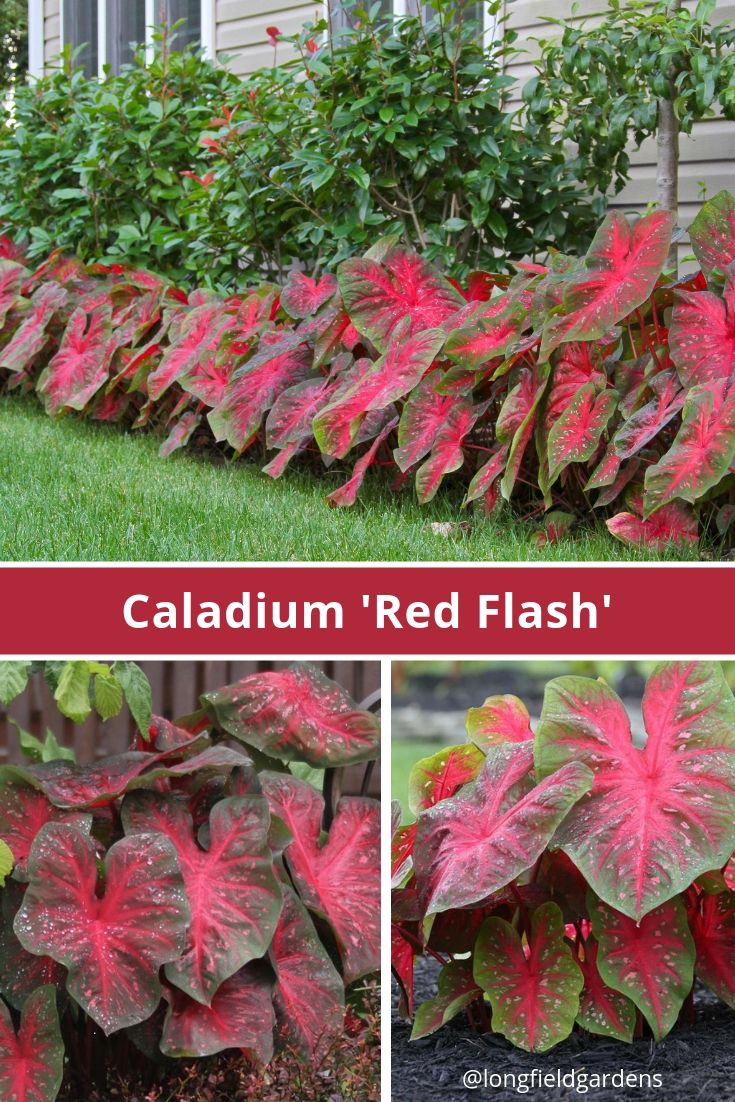 caladium fancy red flash