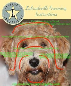 Labradoodle Grooming Instructions by way of Legendary Labradoodles. Thanks for sharing Alaina!