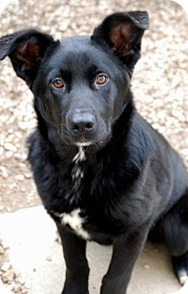 Norfolk Va Border Collie Labrador Retriever Mix Meet Margie A