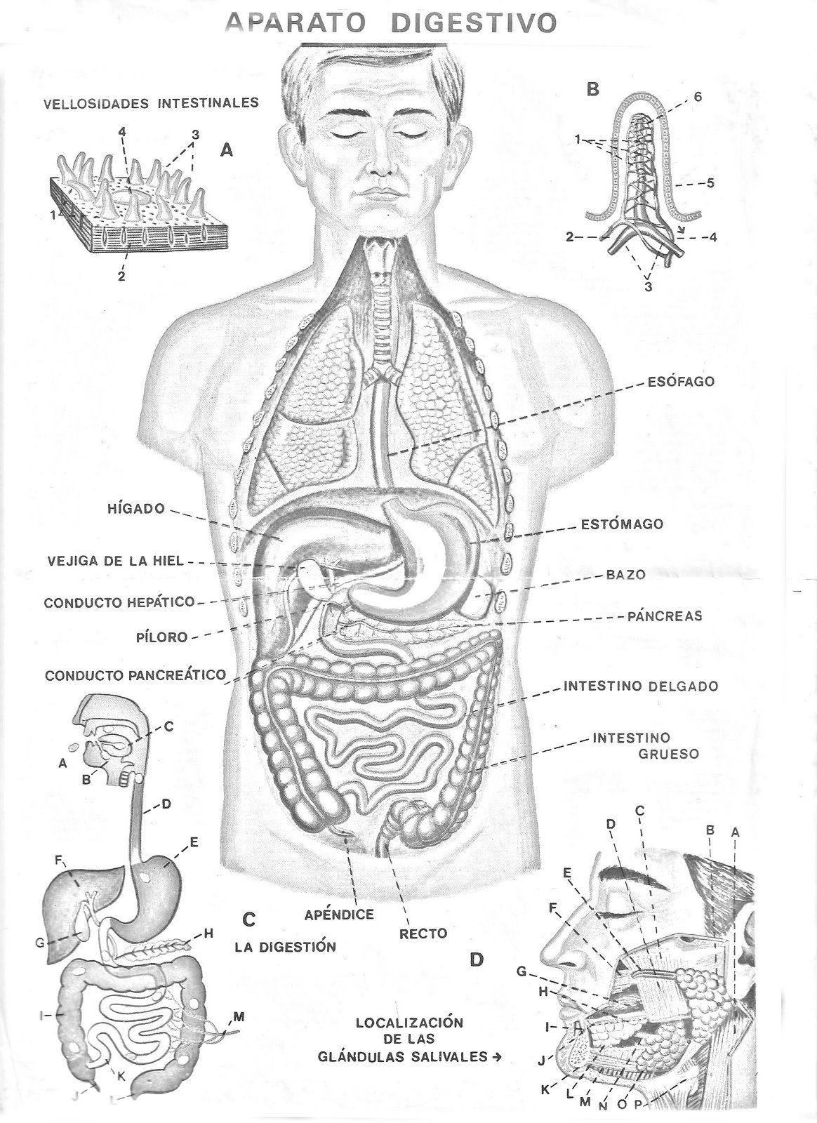 El aparato Digestivo | Cuerpo humano | Pinterest | Aparato digestivo ...
