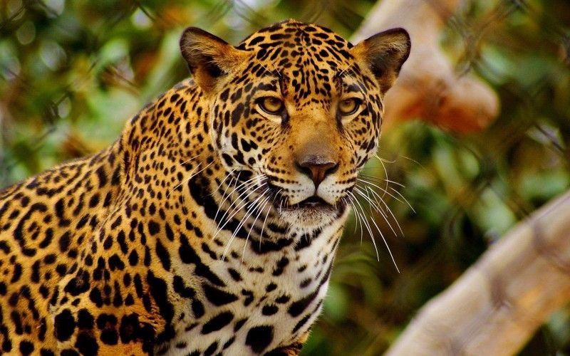 Resultado de imagen para leopardo   pantherinos sorprendentes ...