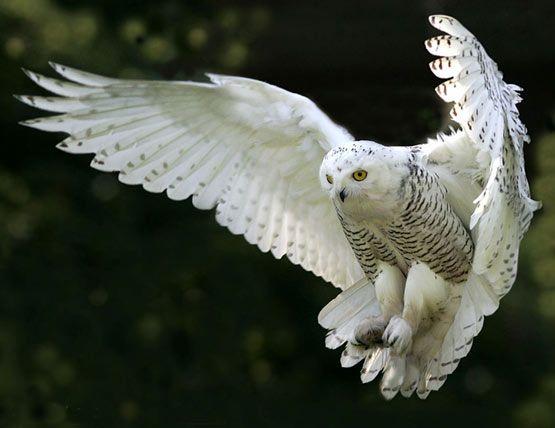 Connu Une chouette harfang des neiges en vol | owls | Pinterest  CD64
