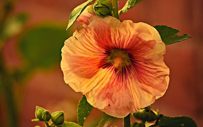 Hollyhock Flower Meaning and Symbolism Hollyhocks