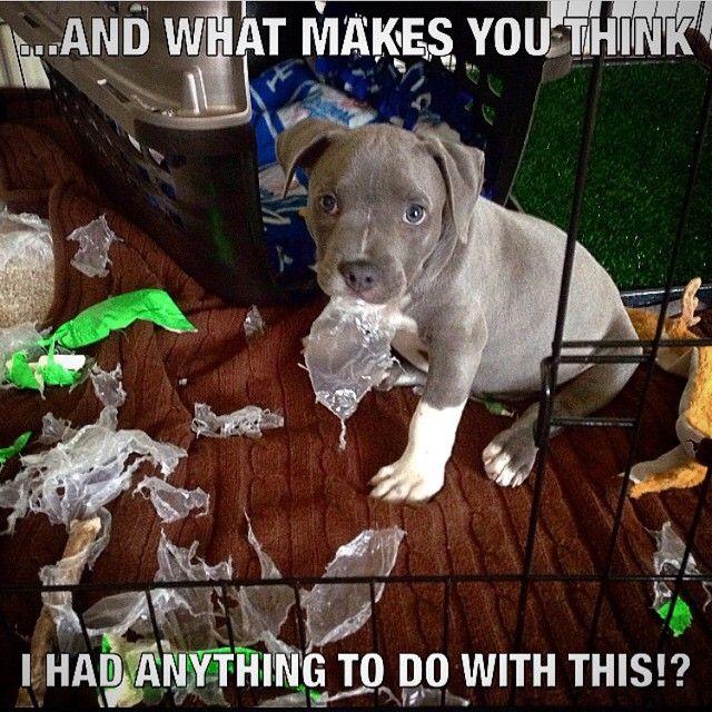 Awwww Pitbulls Funny Puppies Funny Cute Pitbulls