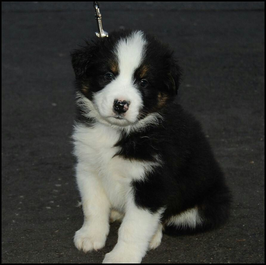 Boarder Collie Husky Mix Sooo Cute Collie Mix Border