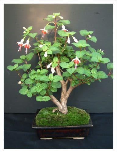 Fuchsia Bonsai : fuchsia, bonsai, Bonsai, Garden, Fuchsia, Hanegem, Tree,, Flower,, Plants