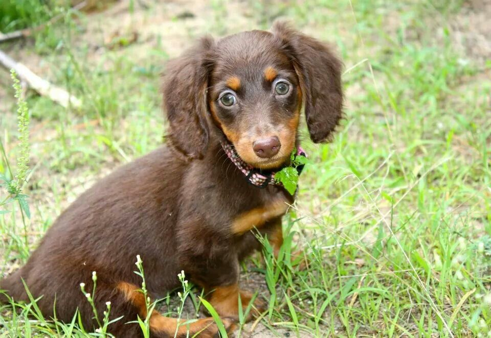Abbie Our Chocolate And Tan Long Haired Mini Dachshund Yes She