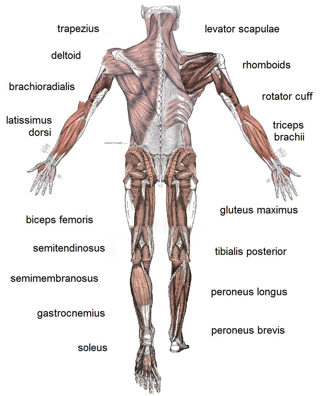 human body organs functions   Tempat untuk Dikunjungi   Pinterest ...