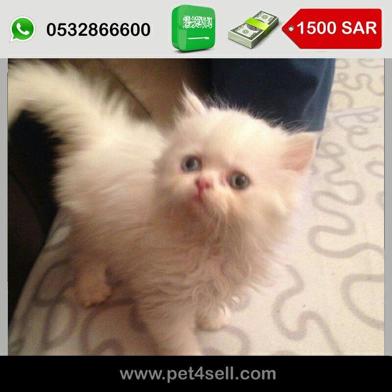 السعودية جدة قطط شيرازي هاف بيكي فيس للبيع Pet4sell Cats Animals