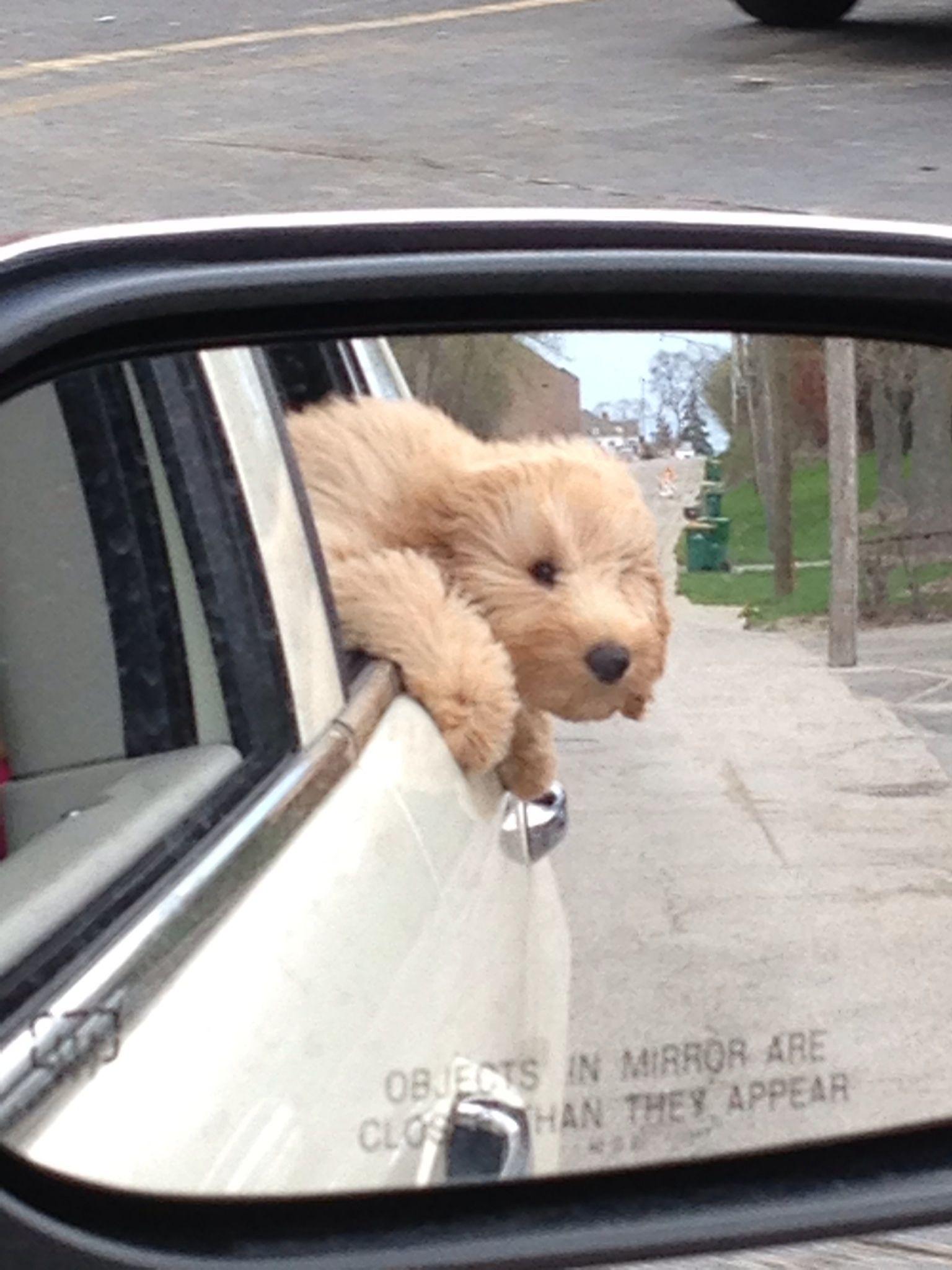 Doodles love car rides f1b goldendoodle goldendoodle