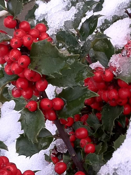 winter berries Nature, Flowers, Gardens and Landscape Pinterest