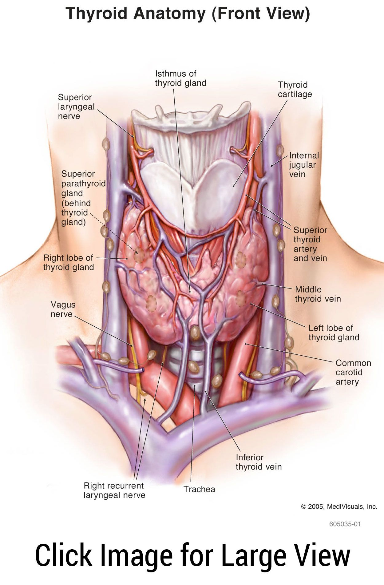 thyroid anatomy | anatomy | thyroid, cancer, thyroid cancer