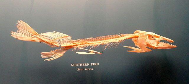 Northern Pike fish skeleton   A fish skeleton   Pinterest   Pike fishing