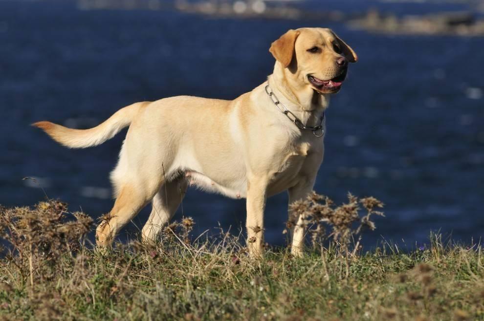 Pin Em Labrador Retriever