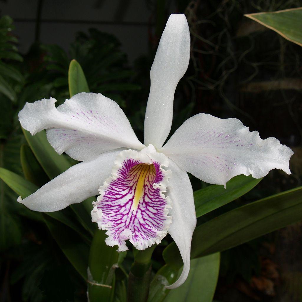 Cattleya maxima var. semi-alba striata 'Manolo'