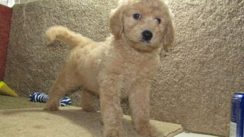 Goldendoodle Puppy For Sale In Tucson Az Adn 43272 On
