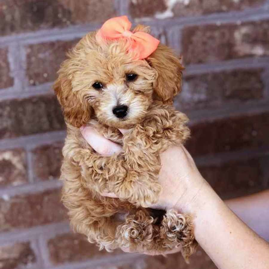 Bolonoodle Puppies Teddy Bear Puppies Teddy Bear Dog Poodle