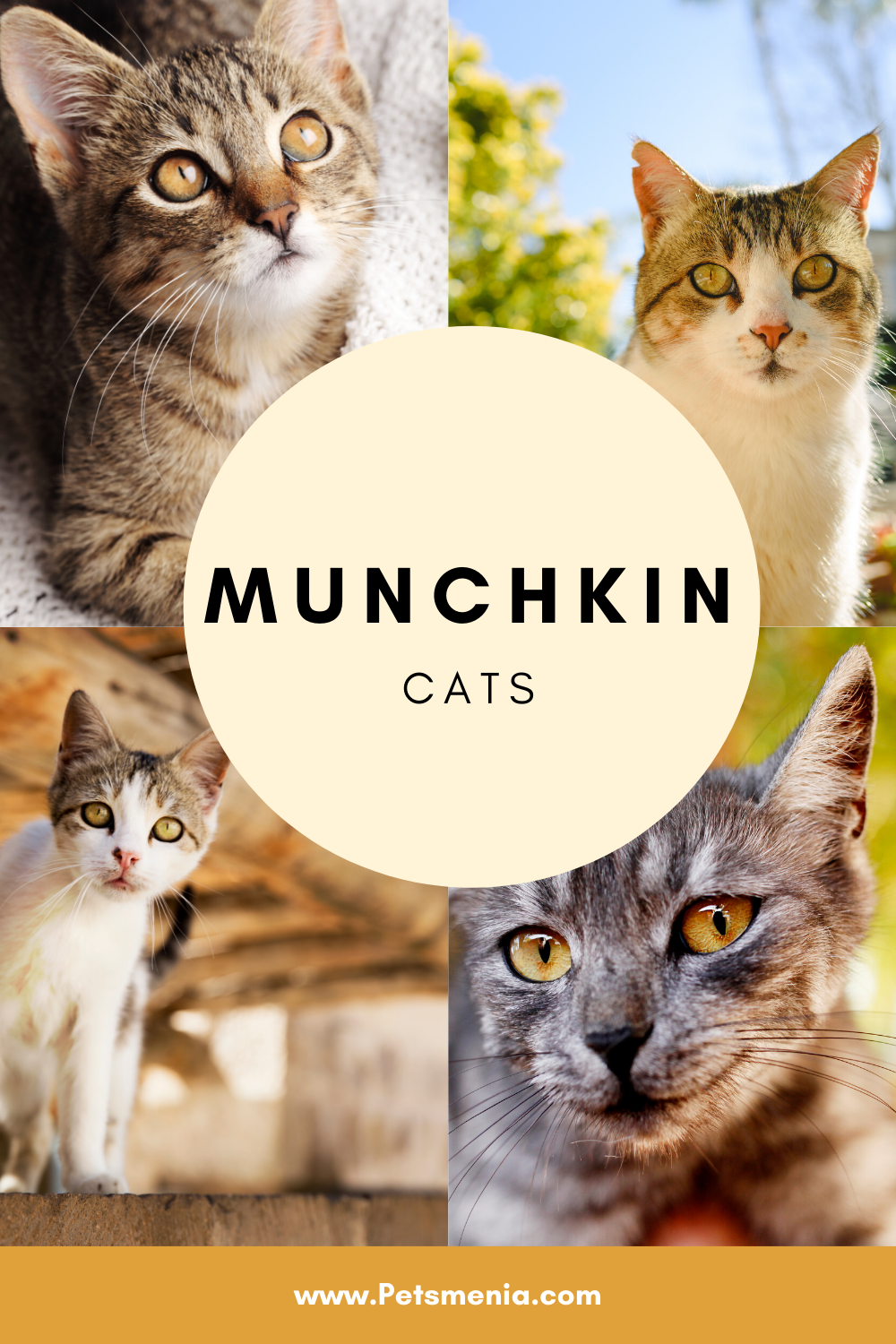 Pin on Munchkin Cats Adorable Cat Breed