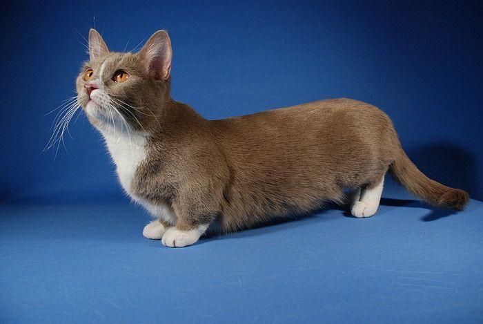 Munchkin Cats Munchkin Kitten Munchkin Cat Cat Breeds