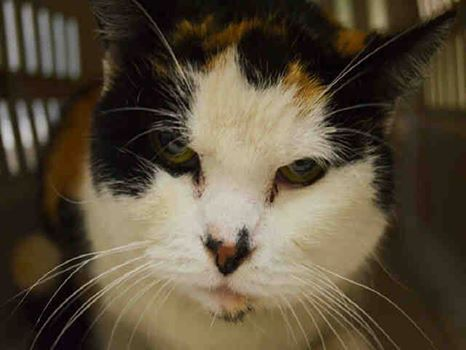 TO BE DESTROYED 10/18/14  Brooklyn Center  My name is SPOTTY. My Animal ID # is A1016791.  I am a spayed female calico domestic sh. The shelter thinks I am about 15 YEARS old.***TO ADOPT THIS ANIMAL PLEASE GO TO THE FOLLOWING LINK AND SCROLL DOWN TO BOTTOM TO LOG IN AND RESERVE THE ANIMAL. THERE WILL BE A $50 DEPOSIT REQUIRED. THIS OPTION IS AVAILABLE UNTIL 12PM TOMORROW. http://www.nycacc.org/PublicAtRisk.htm *** Contact the NYC ACC at (212) 788-4000 for further automated instructions