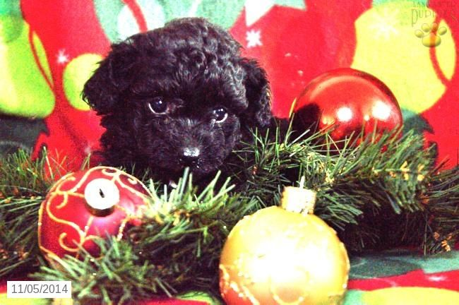 Olivia Poodles Mini Amp Toy Puppy For Sale In Cambridge In Poodles Mini Toy Puppy For S Toy Puppies For Sale Toy Poodles For Sale Puppies For Sale