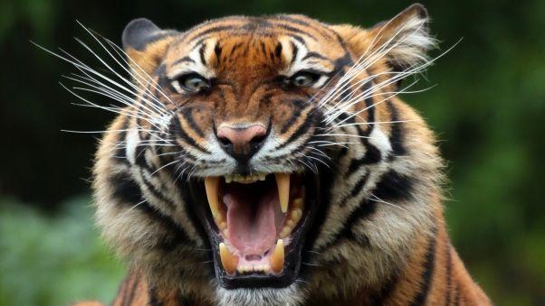 wallpaper tiger wild cat predator teeth
