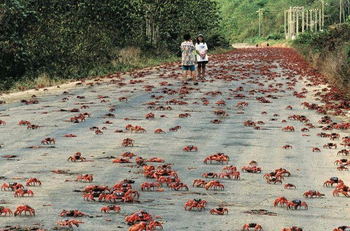 christmas island is a small australian island in the indian ocean that is a big part in the migration of red crabs