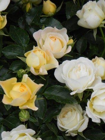 Greenheart Farms - Drift® Roses