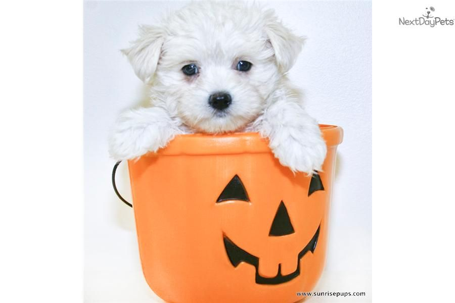 Meet Mickey A Cute Maltese Puppy For Sale For 599 Teacup Mickey