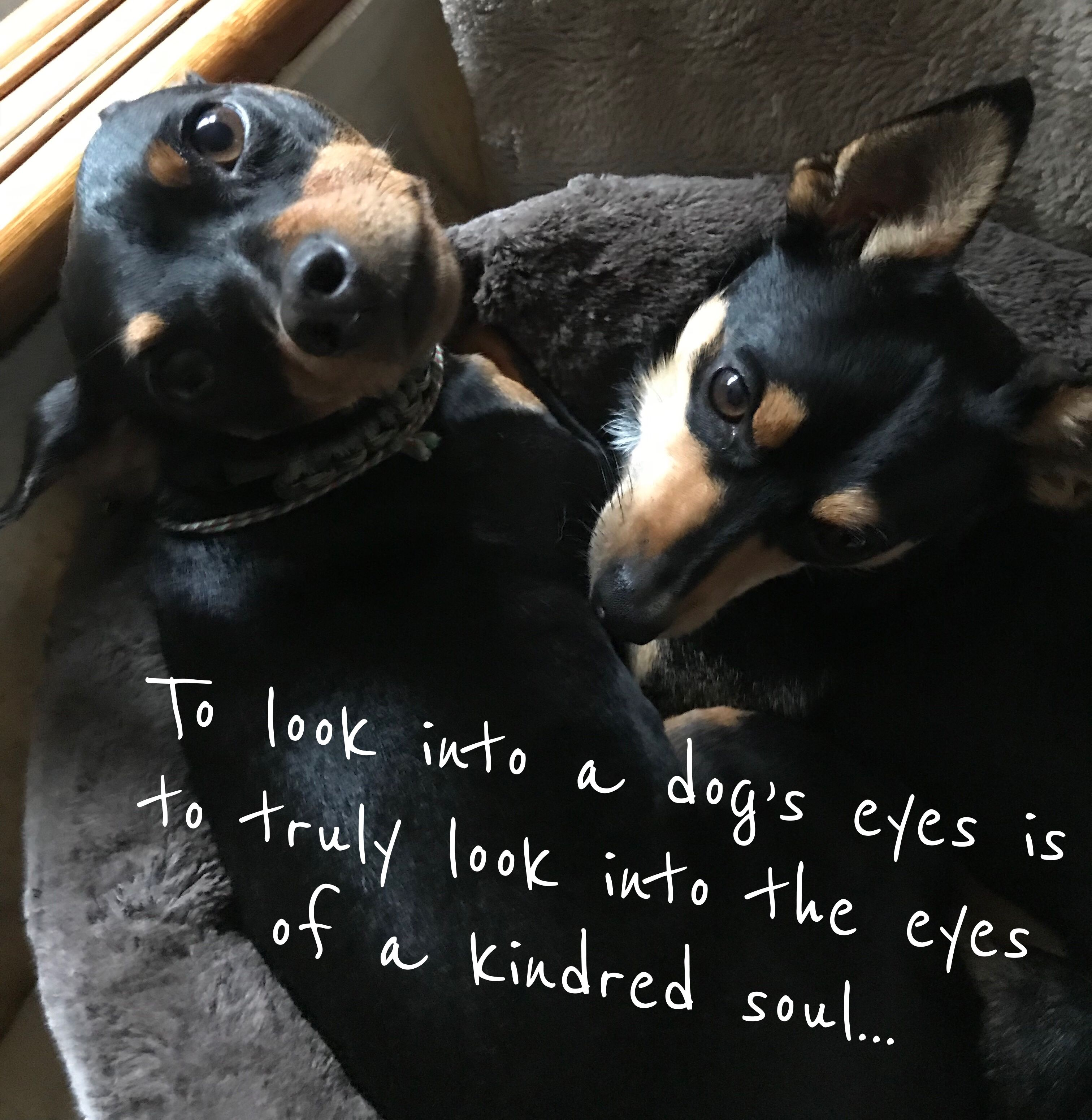 "Pin by ""The Whimsical Lady"" on Min Pins Dog eyes, Min"