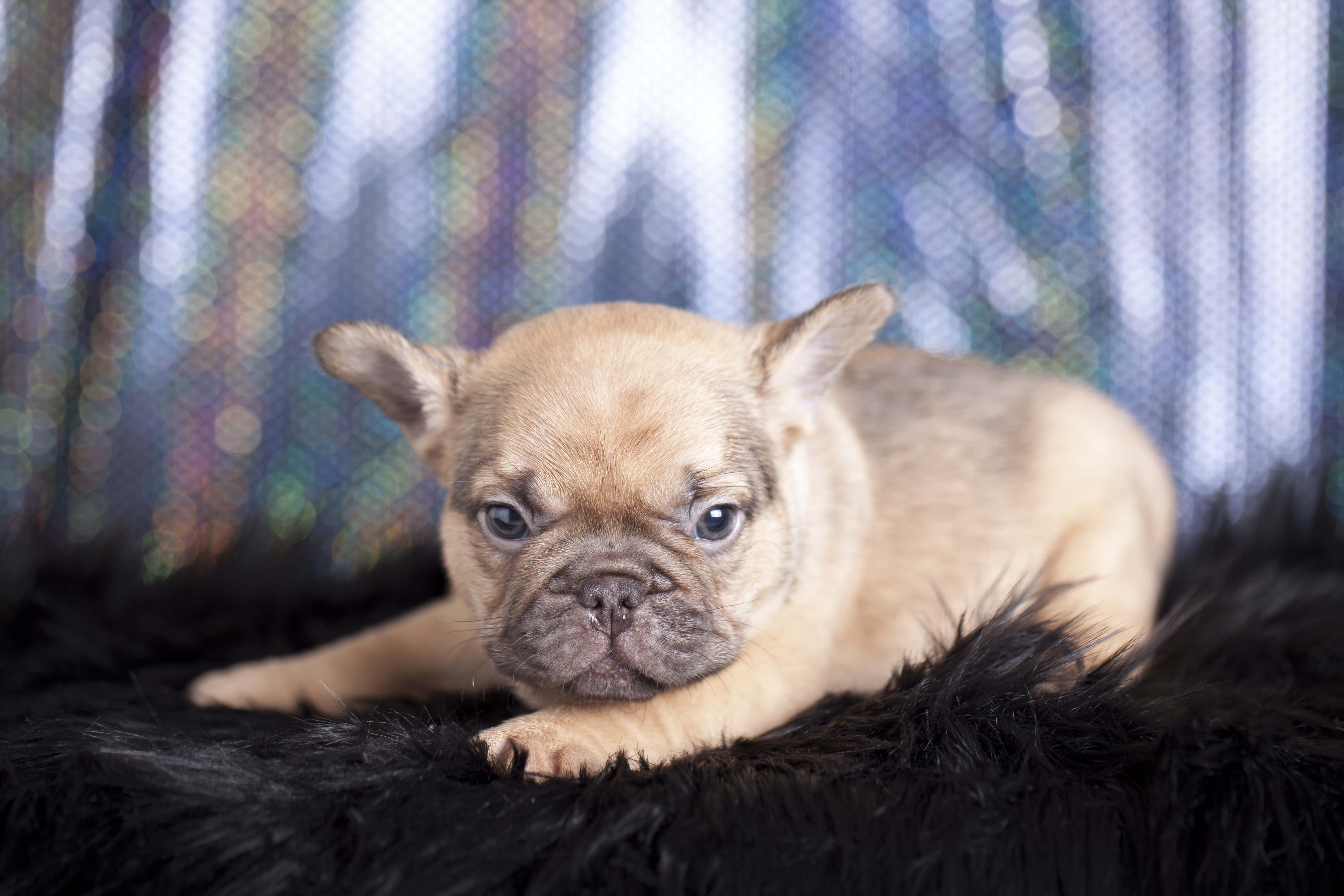 born to model. chocolate sable male french bulldog puppy