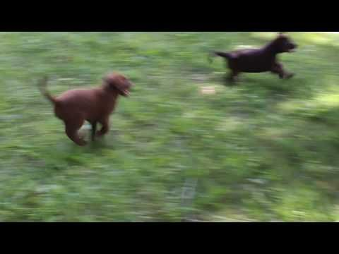 Labrador Retriever Puppies In Ohio Chocolate Labrador Retriever