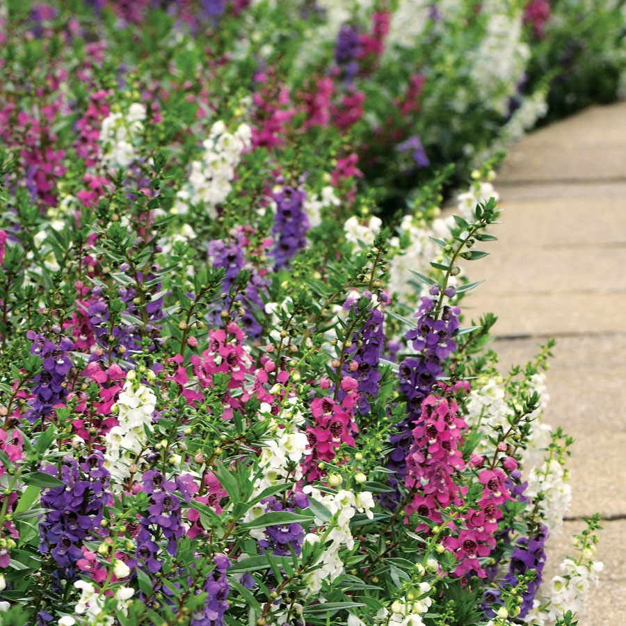 A Widespread Noxious Cool Season Annual: Serenita Angelonia Annual Plant Combination