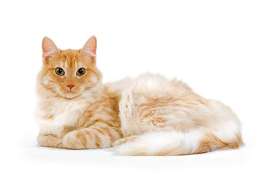 Orange Tabby Turkish Angora Cat by Labat-Rouquette ...