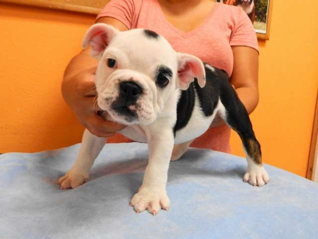 Black Tri Color English Bulldog Puppy Female Full Akc Registered Lots Of Wrinkles Big Bones Thick Body Top Not Bulldog English Bulldog Puppy Puppies