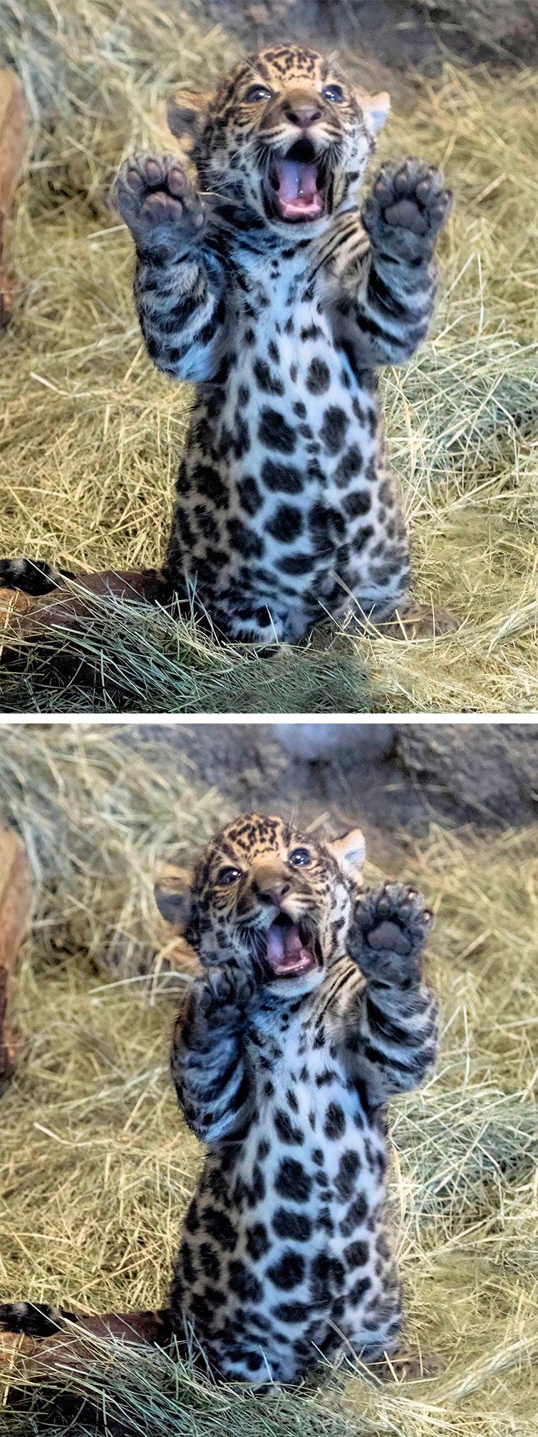 Jaguar cub cuteness by Nancie Cunningham Casey