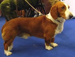 Drever Swedish Dachsbracke Hound Dog Hound Dog Breeds Dog Breeds Working Dogs Breeds